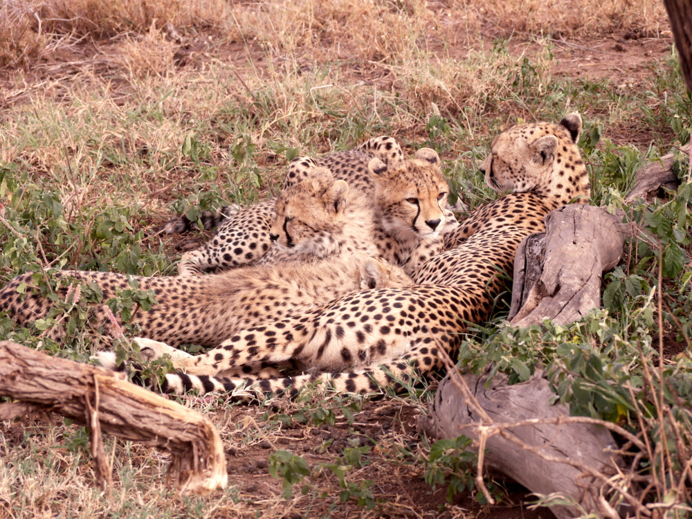 Namiri Plains Serengeti Geparden